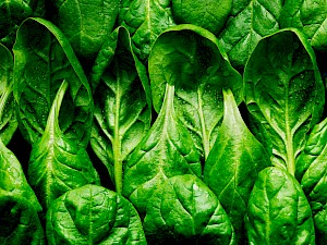 Photograph of Spinach still life. Rows of spinach lined up